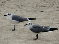 Lattermåke/Laughing Gull