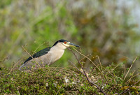 Natthegre/Black-crowned Night-Heron
